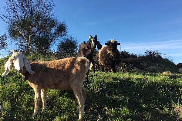 chèvre et moutons